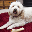 Golden Doodle Relaxing — Stock Photo