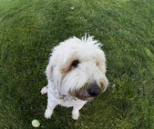 Funny distorted Dog through use of Fish-eye Lens — Stock Photo