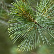 Pine-needles closeup — Stock fotografie