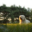 Evening Sun Rays on Dog — Stock Photo