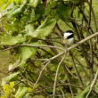 Chickadee Perched on Branch — Stock Photo