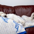 Sleepy Dog on Sofa — Stock Photo