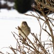 Stock Photo: Bird Perched on Branches after Snowstorm