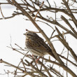 Sparrow after Snowstorm — Stock Photo #39410607