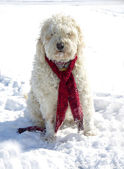 Golden Doodle Dog in Snow — Stock Photo