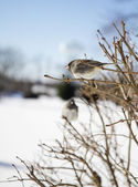 Two Birds After Snowstorm in Branches — Stock Photo