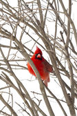 Red Cardinal Perched on Branches Snow Storm — Stock Photo