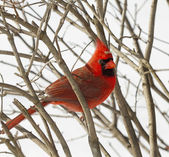 Red Cardinal Perched on Branches Snow Storm — Stockfoto