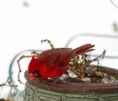 Bright Red Cardinal After SnowStorm — Stock Photo