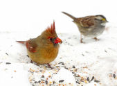 Closeup Shots of Female Red Cardinal — Stock Photo