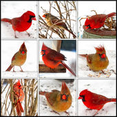 RED CARDINAL COLLAGE - FEMALE AND MALE — Stock Photo
