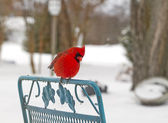 Red Cardinal Perched on Chair in Snow — Stock Photo