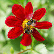 Bumblebees pollinate red flower — Stock Photo
