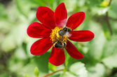 Bumblebees pollinate red flower — Stockfoto