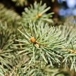 Stock Photo: The branches of fir tree