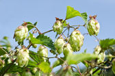 Nature background - Hop cones closeup — Stock Photo