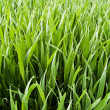 wheatfield - juicy green grass with dew drops — Stock Photo