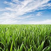 麦畑 - ジューシーな緑の草露滴空を背景 — ストック写真