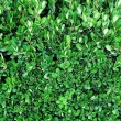 Laurel bush close-up — Stock Photo