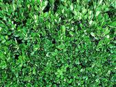 Laurel bush close-up — Stock Photo