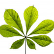 Chestnut leaf — Stock Photo