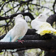 White doves — Stock Photo