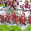 Red berries on the branch — Stock Photo