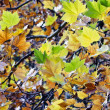 Multi-colored maple leaves — Stock Photo