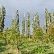 Stock Photo: Woodland belt poplar