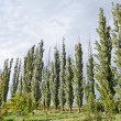 Woodland belt poplar — Stock Photo