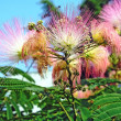 Flower Albizia julibrissin — Stock Photo