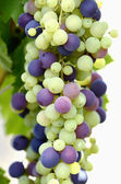 Motley bunch of grapes — Stock Photo