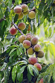 Peach fruit on the branch — Stock Photo