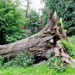 Fallen large tree — Stock Photo