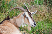 Goat in grass — Stock Photo