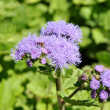 Stock Photo: Blue inflorescence