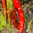 Red pepper on the field — Stock Photo