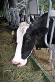 Black-White Cow on the farm — Stock Photo
