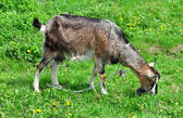 Goat grazing — Stockfoto