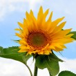 Stock Photo: Small sunflower flower on stem