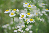 White small chamomile flowers — Photo