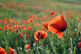 Flower of red poppy — Stock Photo