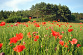 Red poppies and wood — Stock Photo