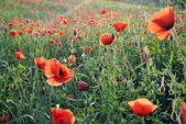 Red poppy flowers shining on the sun — Stock Photo