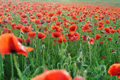 Carpet of red poppies — Stock Photo