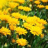 黄色的花朵 — 图库照片