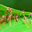 Oecophylla smaragdina (common names include Weaver Ant, Green An — Stock Photo