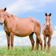 Stock Photo: Brown horse and foal looking
