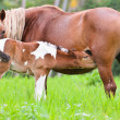 Foal suckling from mother — Stock Photo