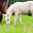 White foal graze near the mother — Stock Photo